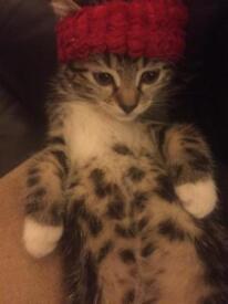 Bangle cross tabby kitten( Gobbi )