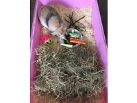 Lop female Rabbit