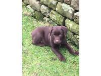 Chocolate Labrador X Border collie puppies