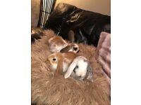 5 Gorgeous Lop Bunnies