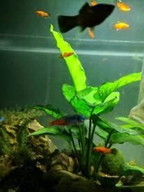 Fish / gorgeous half long fin platys