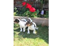 Miniature Quality Tri Coloured Jack Russell Puppies