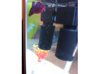 Male Betta Fish Siamese Fighting Fish Tropical Fish Looking For New Home