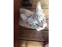 Snow Bengal x British Blue Shorthair female for Sale
