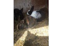 9 week old rabbits