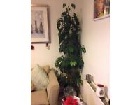 7ft4inch Umberella plant