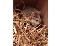 Roborocski dwarf hamster