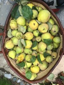 English QUINCE Fruit £5/ kg