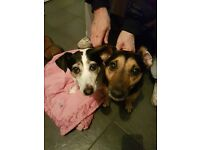 Mother and son jack russels