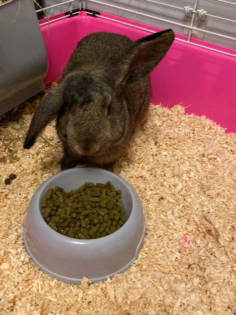 Rabbit Male Free In Grantham Lincolnshire Gumtree