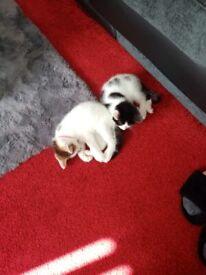 One girl one boy kitten 9 weeks old plz read add