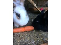 Rabbits x 2 - females