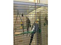 Male and female coctail parrots 120 on