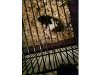 Hamster dark brown and white