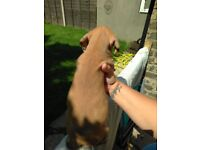 Rhodesian Ridgeback puppies 2 female ridgeless