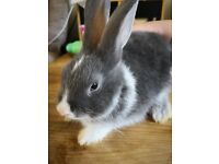 Male 8 week old Lionhead cross bunny for sale with gorgeous blue/grey eyes! Ready now!