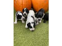 Roan Cockapoo puppies