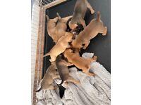 Lakeland patterdale pups