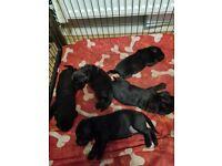 Kc registered labrador Retriever puppies