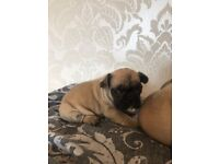 Quality pedigree French bulldog for sale