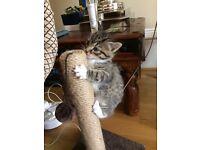 Single tabby kitten ready now