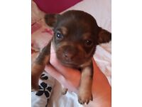 Tiny Chihuahua pups , two lilac one dark chocolate, one litter chocolate