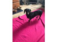Dachshund miniature black tan girl