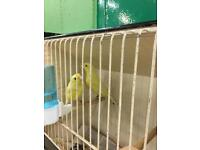 Waterslager Canary for sale