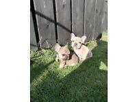 French Bulldog pups (kc reg)