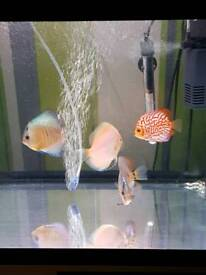 Discus lovely coulours 4.5 /6 inch