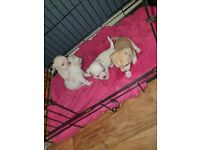 Chihuahua puppies 2 boys 1 girl avalible