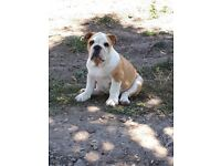 KC reg bulldog puppy female. CH pedigree