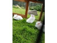 Lionhead lop bunnies