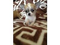 4 LITTLE FULL BRED CHIHUAHUA PUPS