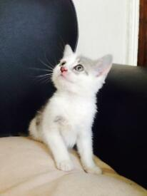 Cute grey and white kitten ready!