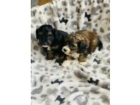 Cavapoo only 2 boys ready soon