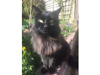 Missing black long haired Male Cat. Microchipped. REWARD OFFERED !!