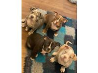 American Bully (pocket) Puppies