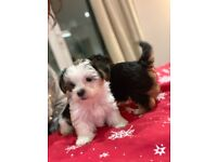 3 lovely maltese x Yorkshire puppies