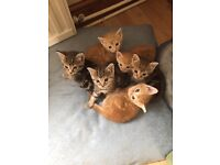 Kittens for sale £70 ginger and tabby
