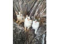 *** Remarkable Ragdoll Cross Kittens ***