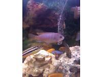 African Malawi cichlids fish (Acei)