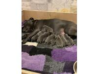 Staffordshire blue kc registered puppies