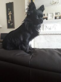 Long Coat Black Male Chihuahua for Sale