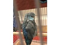 Small blue parrotlet missing