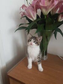beautiful boy kitten for sale READY NOW