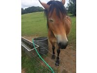 Horses for loan 2 boys Arab xnf