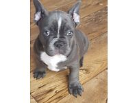 Beautyful Blue French bulldog puppies 3 boys 1 girl