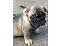 Stunning French bulldog puppies, all 3 are n/ay n/at and Dd carrier all certified