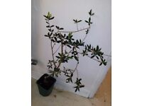 3 Olive trees Approx 3 to 5 feet tall 6 year old stays Inside / outside